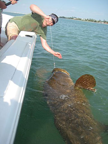 Goliath Grouper Fishing